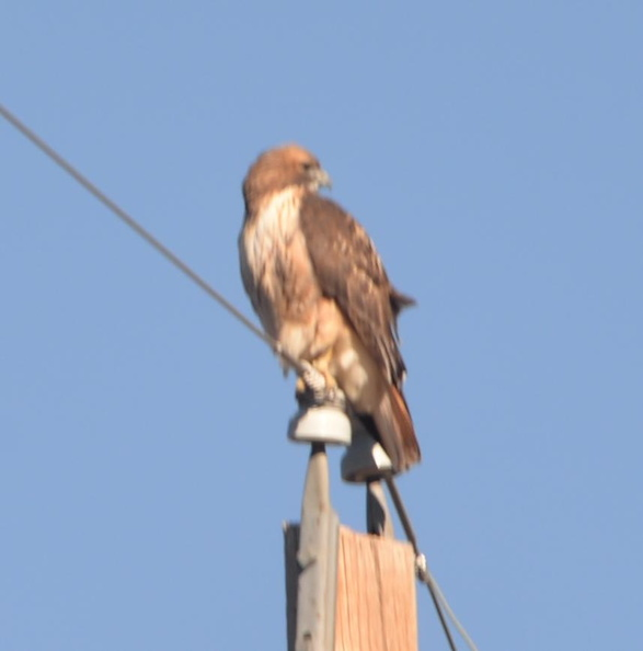 red_tail_hawk_gila_national_forest_19dec18a.jpg