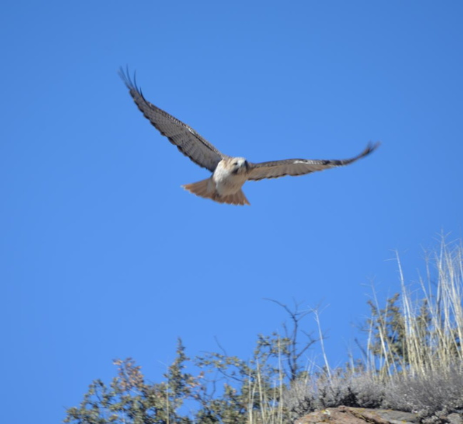 red_tail_hawk2_gila_national_forest_19dec18.jpg