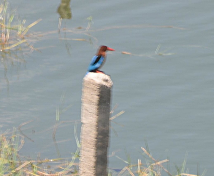 white throated kingfisher paoay lake 22may19zac