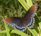 red spotted purple bears den 23sep17a