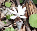 bloodroot 8812 george thompson 14apr20