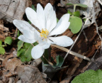 bloodroot 8982 george thompson 14apr20