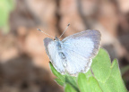 silvery blue 8912 george thompson 14apr20