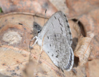 silvery blue 8940 george thompson 14apr20