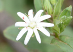 star chickweed 8829 george thompson 14apr20