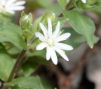 star chickweed 8837 george thompson 14apr20