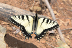 tiger swallowtail 8917 george thompson 14apr20