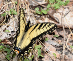 tiger swallowtail 8949 george thompson 14apr20
