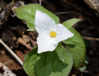 white trillium 8881 geoge thompson 14apr20