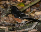 rufous sided towhee pipilo erythrophthalmus limberlost trail 9452 29jul20
